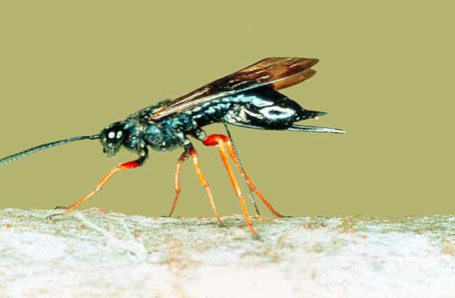Sirex wasp laying eggs