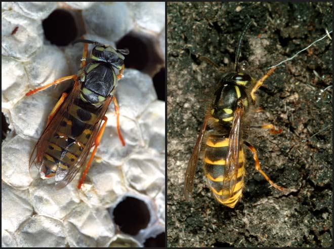 German wasp and common wasp