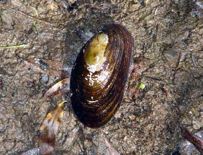 Freshwater mussel
