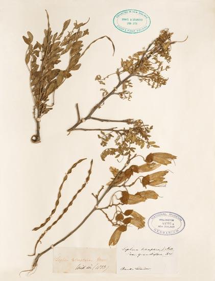 Kōwhai specimen