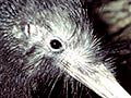 Bird calls: North Island brown kiwi