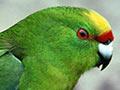 Forbes' parakeet