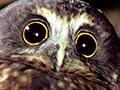 Bird calls: ruru