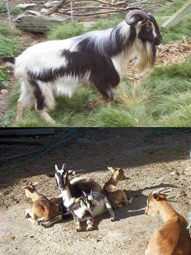 Arapawa Island goats