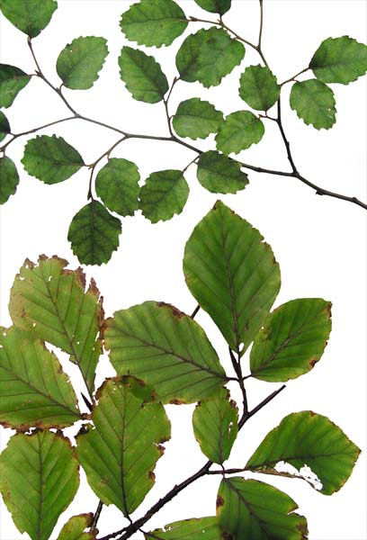 Leaves of a southern beech and a true beech