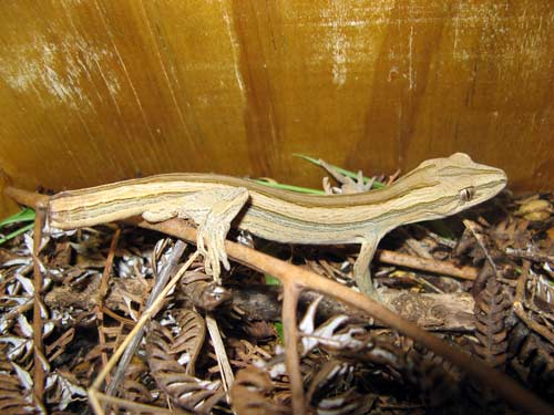 Coromandel striped gecko