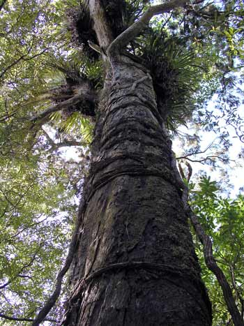 Girdling roots of northern rātā on a rimu tree