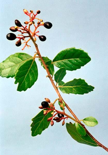 Kaikōmako fruit