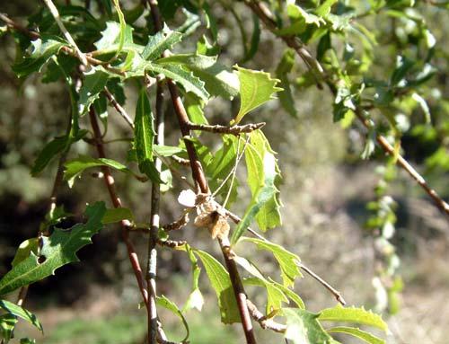Narrow-leaved lacebark