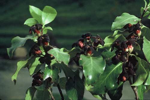Black matipo
