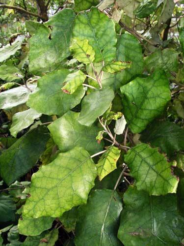 Rangiora leaves