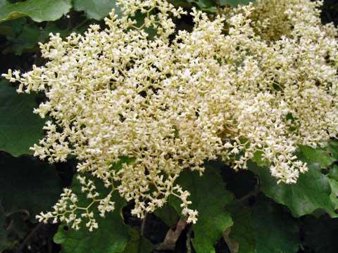Rangiora flowering