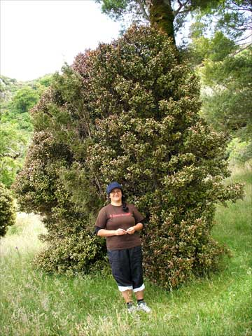 Horopito Tree Shrubs And Small Trees Of The Forest Te