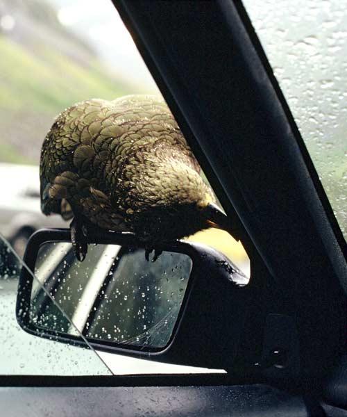 Kea on a car wing mirror