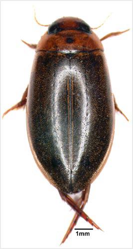 Diving beetle