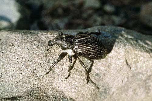 Speargrass weevil