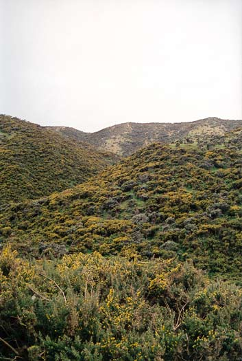 Gorse scrub, south Wellington