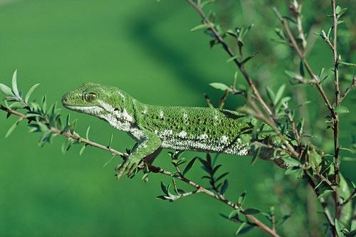 Marlborough green gecko on mānuka