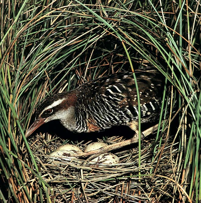 Banded rail on nest with eggs