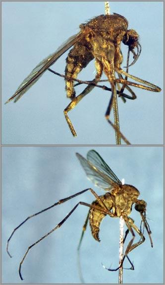 Saltpool mosquito