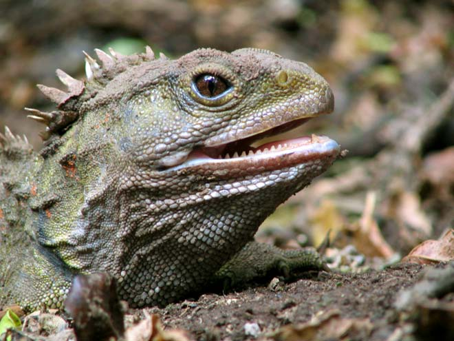 Tuatara have a single row of teeth in their lower ...