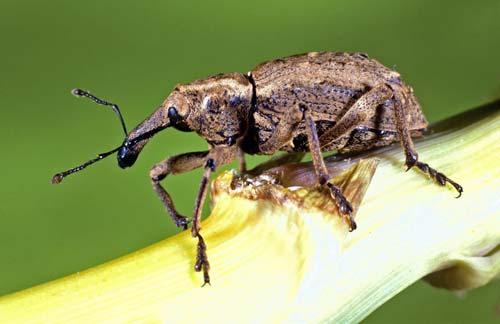 Coxella weevil