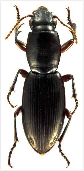 Bounty Islands ground beetle