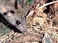 Rat in a thrush nest