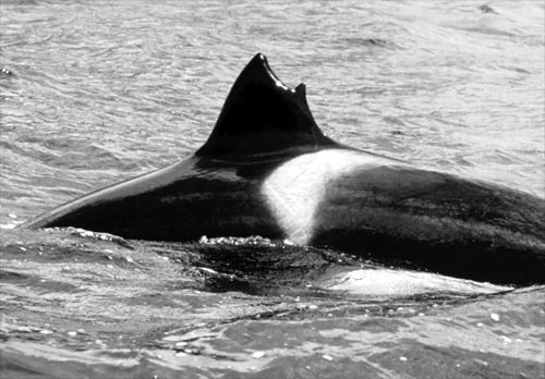 Misshapen dorsal fin