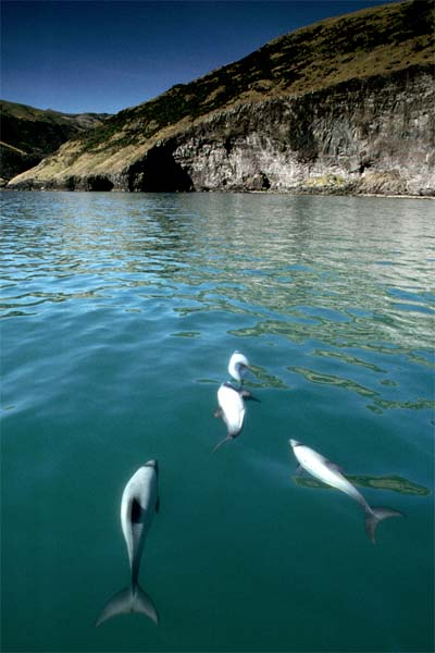 Hector's dolphins, Banks Peninsula