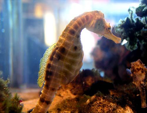 Native seahorse