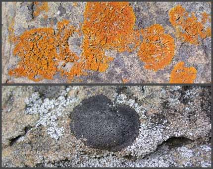 Coastal lichens
