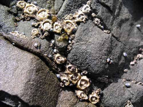 Column barnacles