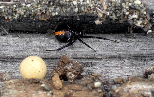 Katipō spider