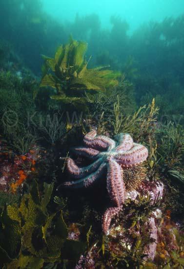 Seven-armed starfish