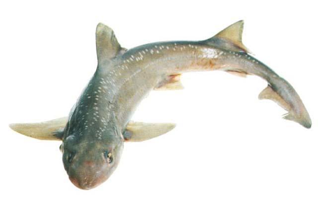 Rig shark