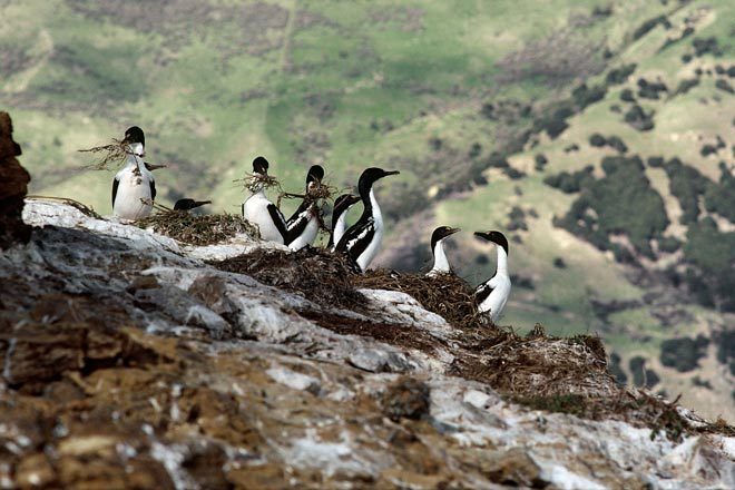 King shags building nests