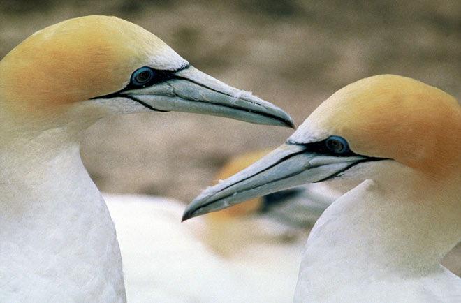Adult gannets