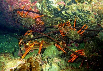 Crayfish – Ocean currents and tides – Te Ara Encyclopedia of New Zealand