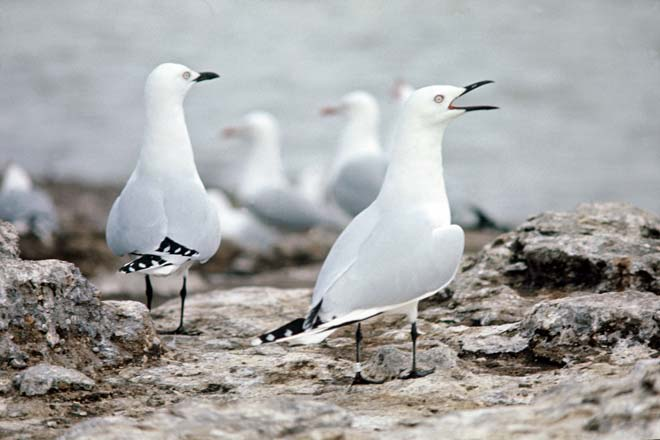Black-billed gulls at Lake Rotorua