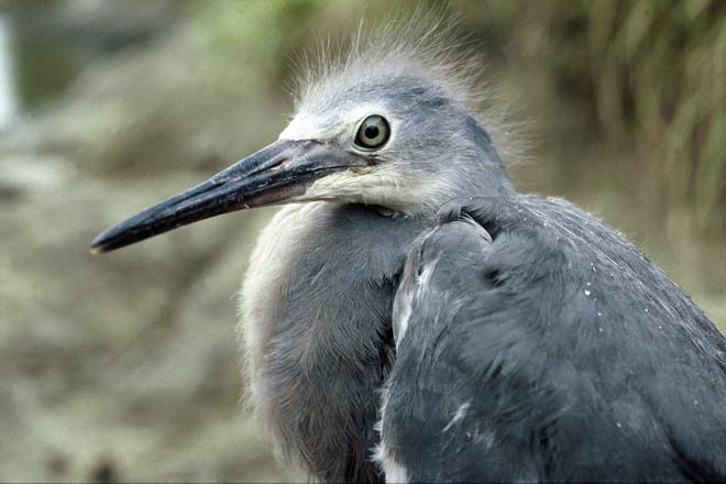 White-faced heron chick