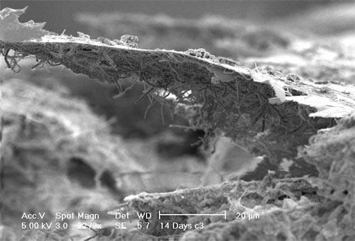 Filamentous micro-organisms