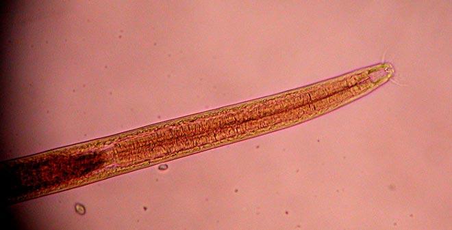 Marine roundworm