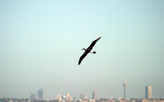 Buller's albatross in Sydney