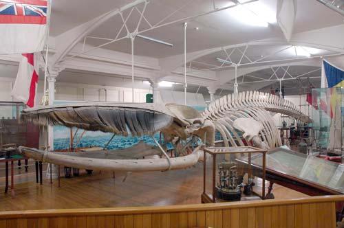 Fin whale skeleton –...