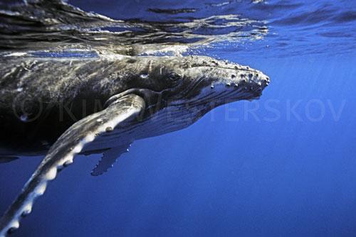 Humpback underwater