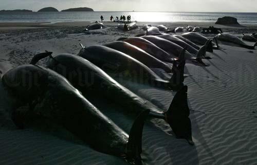 Dead pilot whales