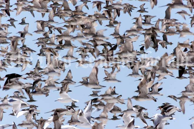 Bar-tailed godwits taking off