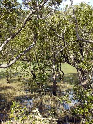 Mangroves near Paihia