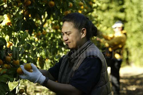 Picking fruit, Kerikeri
